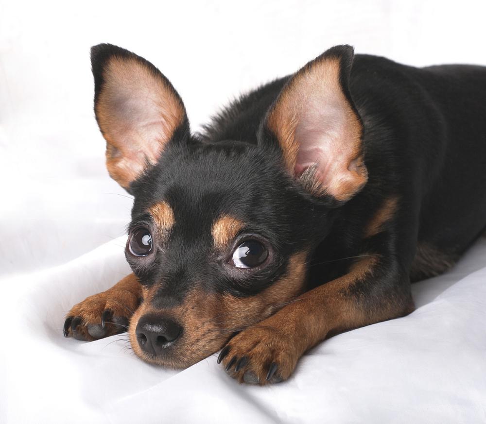 Kleinste Hunderasse