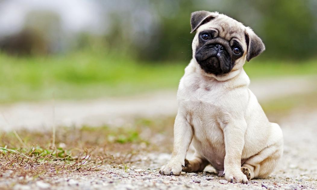 boxer hund eigenschaften