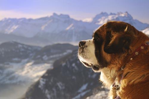 Die größten Hunde der Welt: der Bernhardiner. © iStock