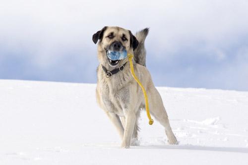 Die größten Hunde der Welt: der Anatolische Hirtenhund. © iStock