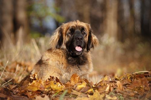 Die größten Hunde der Welt: der Leonberger. © iStock