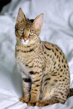 Die Savannah ist die größte Katze der Welt. © Jason Douglas