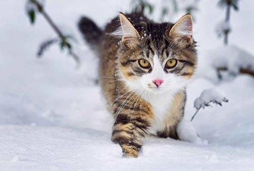 Unter den größten Katzen ist die Norwegische Waldkatze auf Platz 2. © iStock