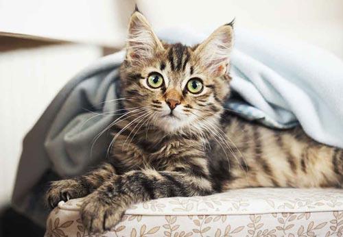 Die Maine Coon ist die drittgrößte Katze der Welt. © iStock