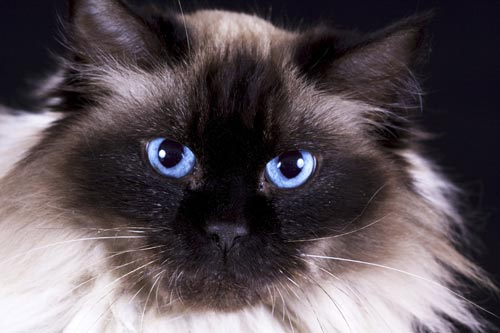 Die Ragdoll hat die schönsten Augen der größten Katzen der Welt. © iStock