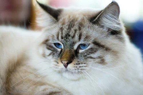 Zu den größten Katzen gehört auch die Ragamuffin. © iStock