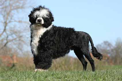 Hund trotz Allergie: Portugiesischer Wasserhund. © Fotolia - zottelhund