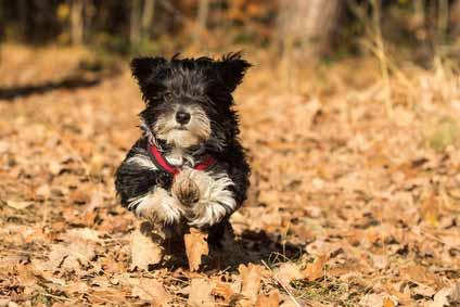 Hund trotz Allergie: der Havaneser. © fotolia - bina01