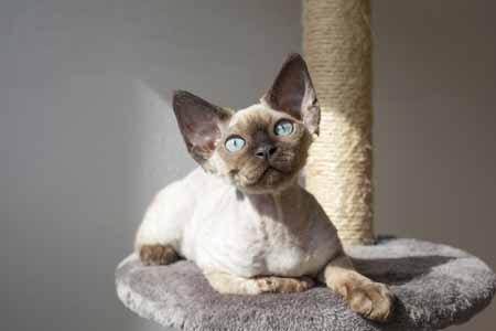 Die kleinsten Katzen der Welt: die Devon Rex © iStock