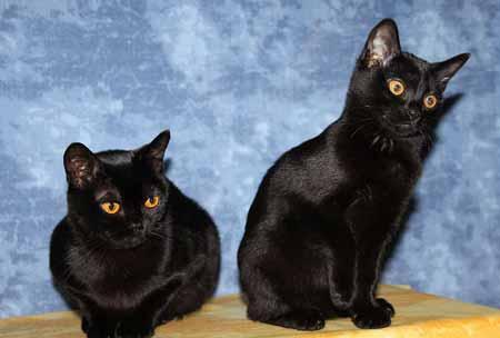 Die kleinsten Katzen der Welt: die Bombay-Katze ©  Bombaycats  -  CC by 3.0