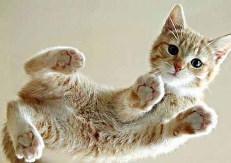 Die kleinsten Katzen der Welt: die Ceylon-Katze © iStock