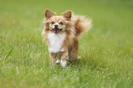 Die kleinsten Hunde der Welt: der Chihuahua © ISTOCK