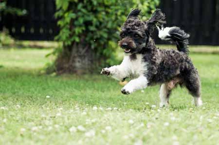 Die kleinsten Hunde der Welt: der Bolonka Zwetna ©  TOBIAS SCHECK/FLICKR  /  CC BY 2.0