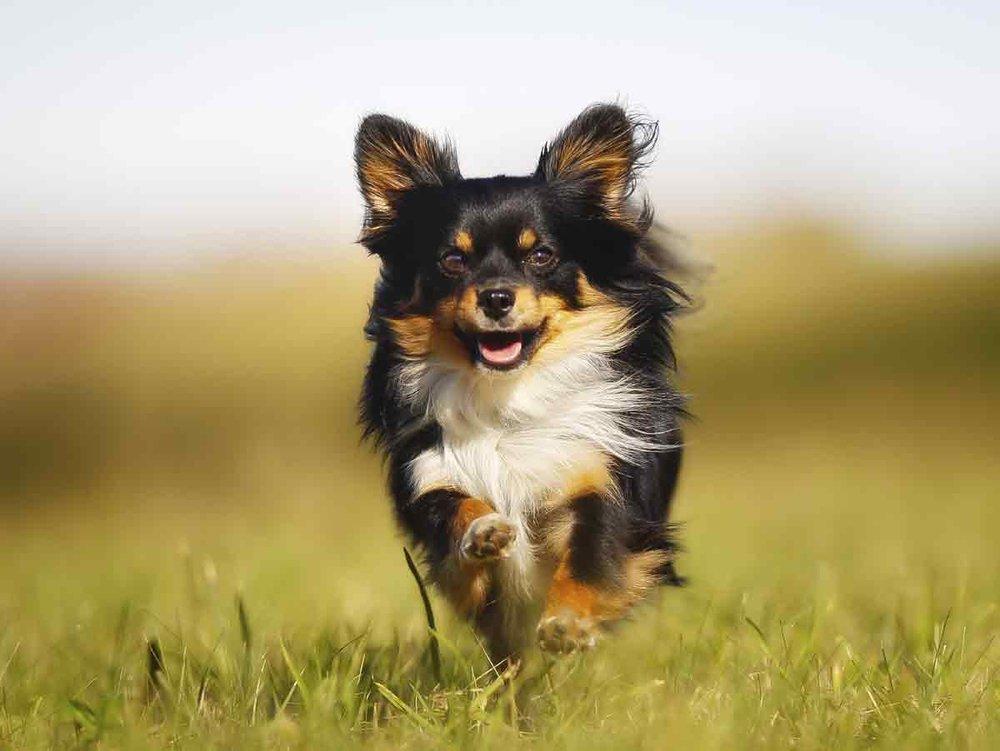 Die kleinsten Hunde der Welt © iStock