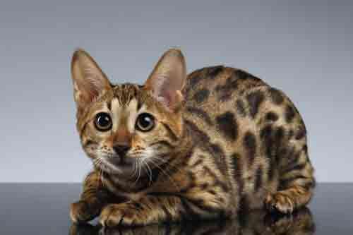 Bengal Cat Gif