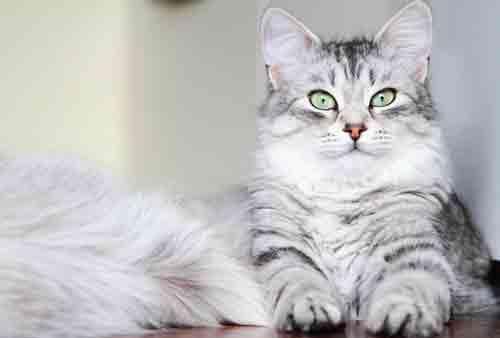 Katze trotz Allergie: die Sibirische Katze. © Fotolia - Massimo Cattaneo