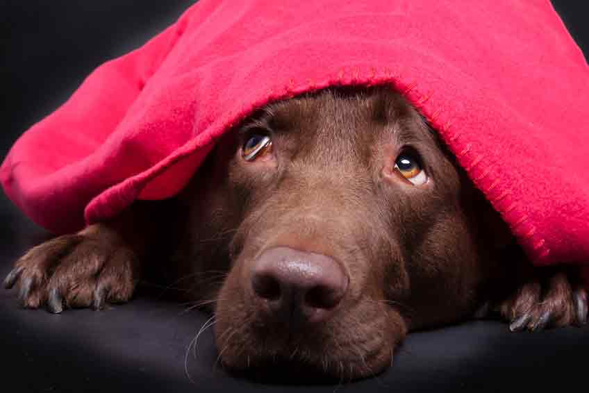 Ein Hund hat Angst an Silvester. © Fotolia - Magnus Pomm