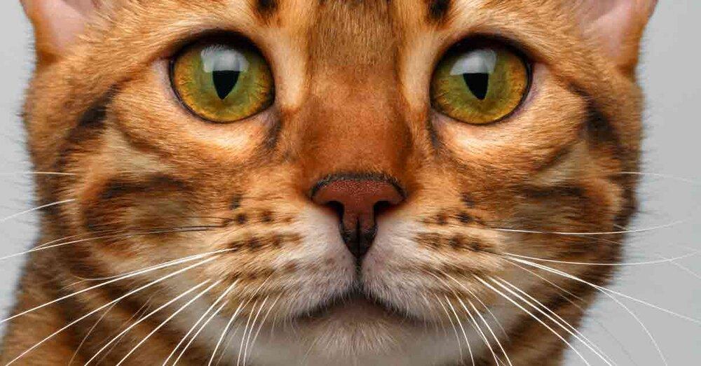 Die 5 Größten Katzenrassen Der Welt Aus Liebe Zum Haustier