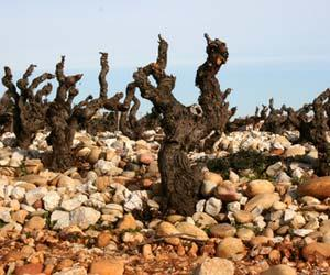 "Old-vine Grenache ""goblet"" vines on  galets .  Courtesy of wine-searcher.com"