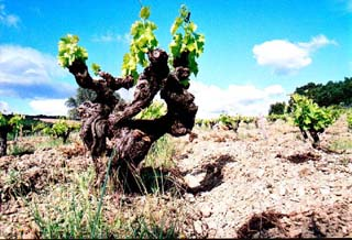 """""""Goblet"""" trained old vines at Domaine Leon Barral"""