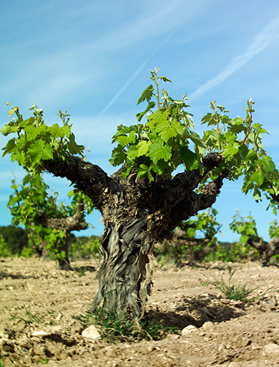 pre-phylloxera monastrell vine.jpg