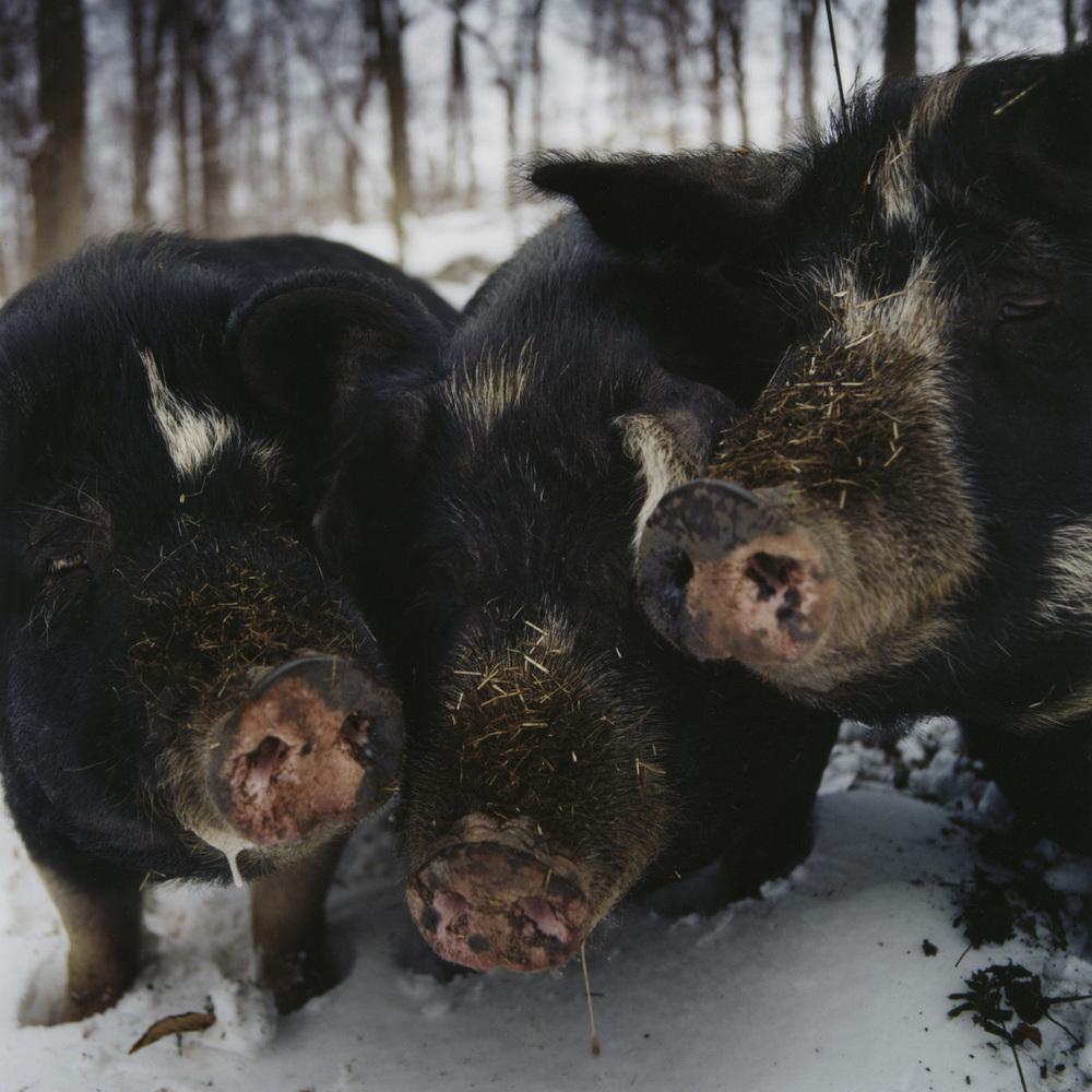 bluehill_pigs1.jpg