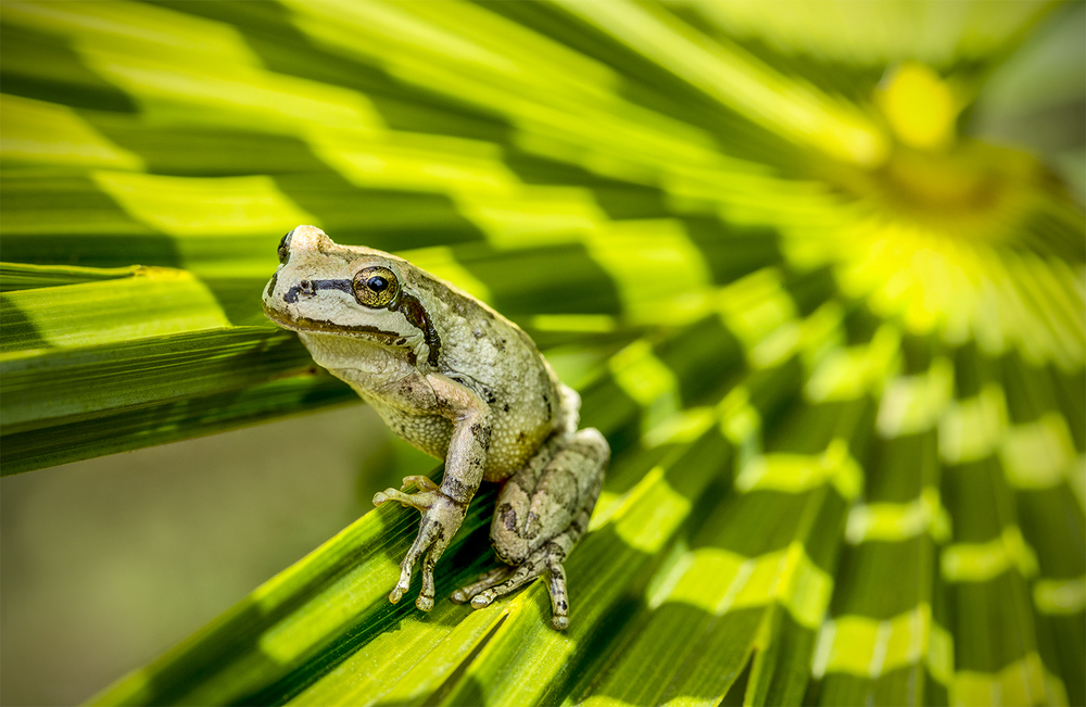 Frog On Palm Leaf