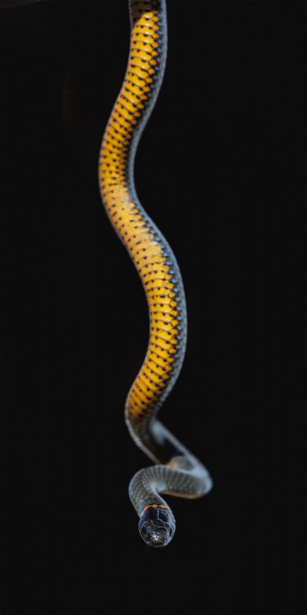 Ring-necked Snake Northern California