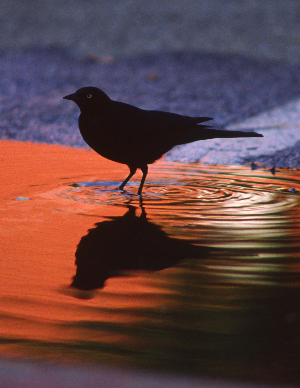 Blackbird_1500.jpg