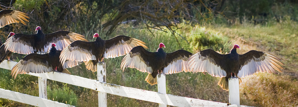 Turkey Vultures in the early-morning sun