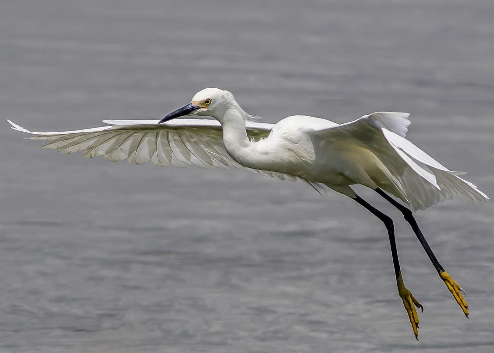 Egret near Dumbarton Bridge