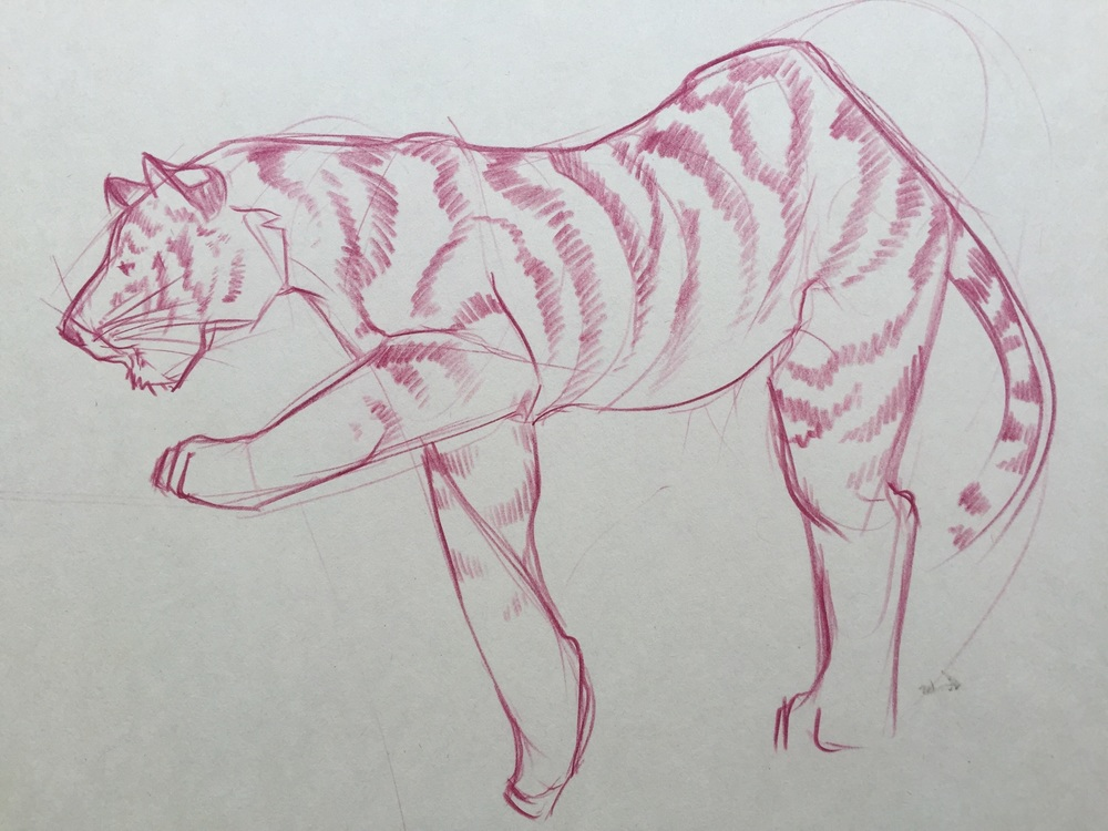tiger pencil zoo study.jpg