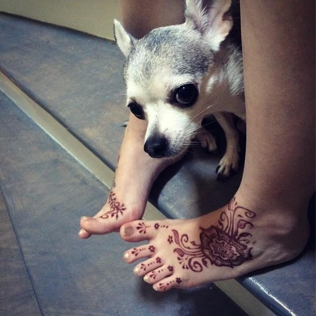 Can puppies get henna too?  #dogateacher #chihuahua #chihuahuasofig #dogsofig.