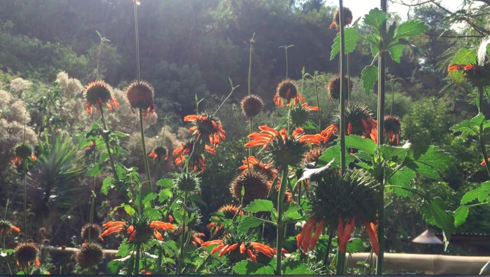 Bees pollinating a variety of mint at Atitlán Organics. Photo: Lily Rothrock
