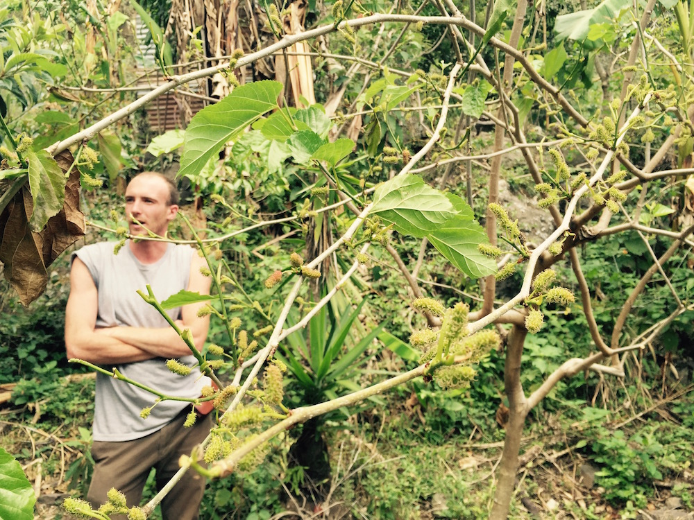 Jeremy Fellows by the fruiting Mulberry Tree (thanks to a new swale directing water to the roots) at Atitlán Organics. Photo: Lily Rothrock