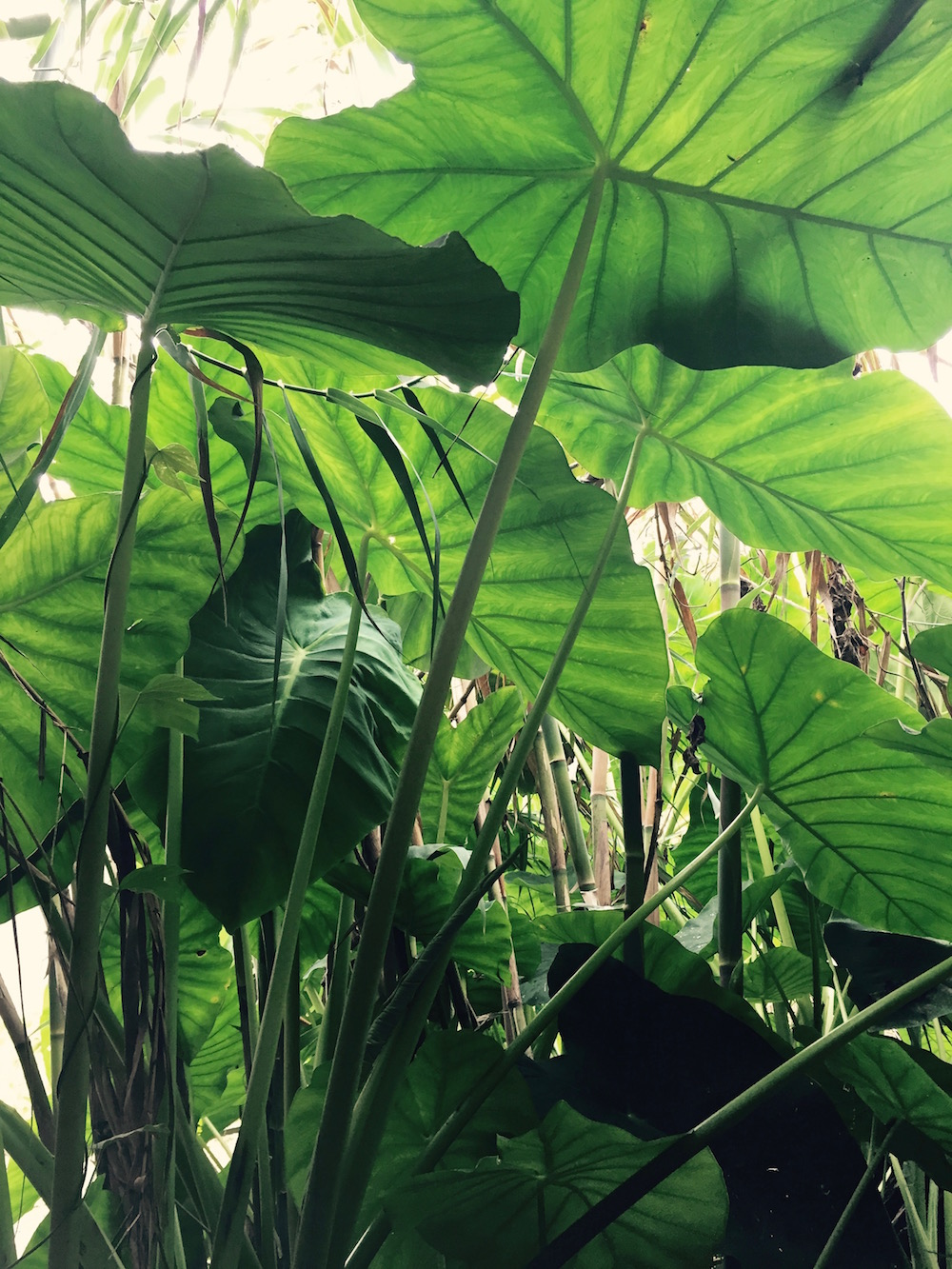 Taro happily growing by the spring at Atitlán Organics. Photo: Lily Rothrock