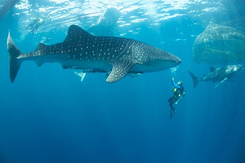 Ultimate Indonesian Yachts_Indonesia_News_Cenderawasih-Whale Shark.jpg