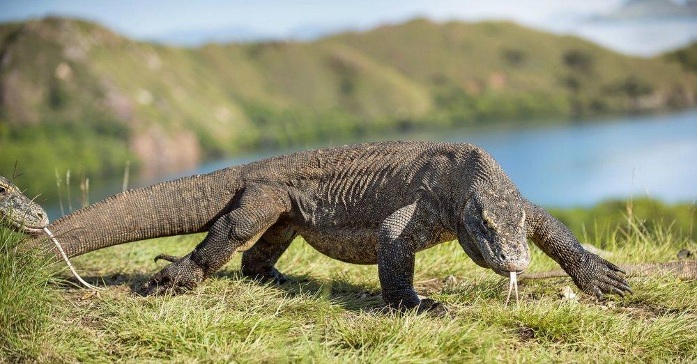 UIY_Nyaman_e1_Komodo Dragon.jpg
