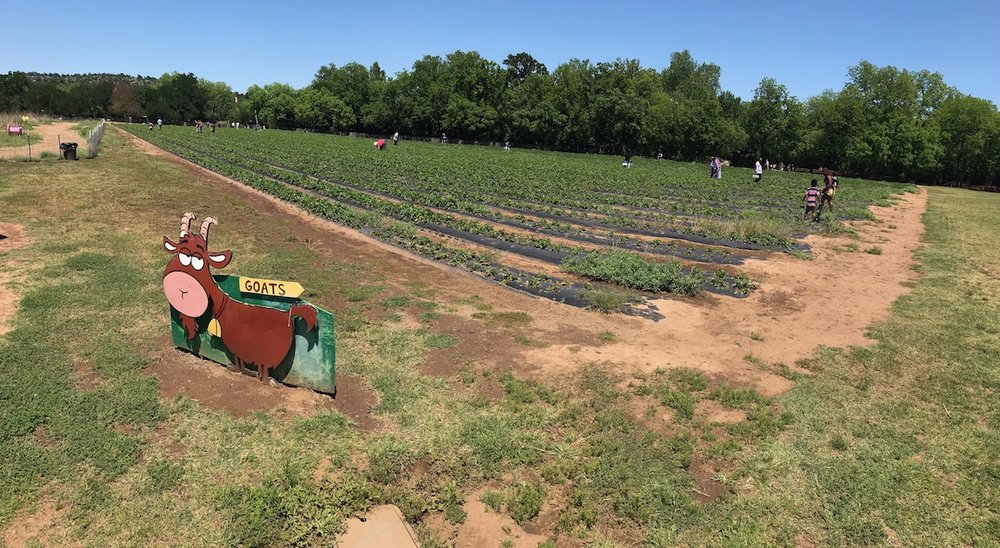 This time we skipped the farmer's market and went straight to the farm to pick strawberries.
