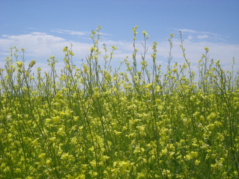 Carinata-flowering-in-field-800x600.jpg