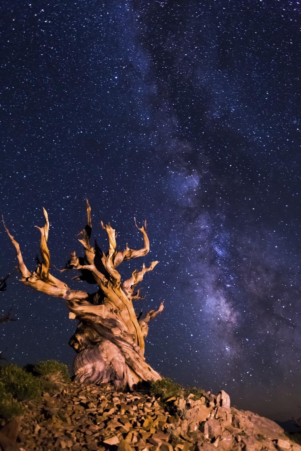 Bristlecone pine tree.jpg