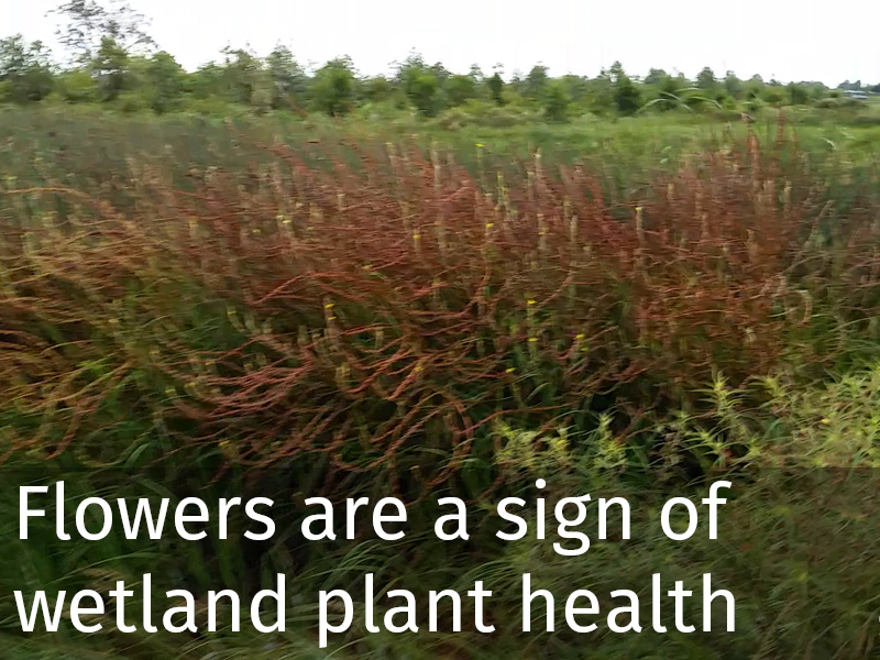 20150102 0058 Flowers are a sign of wetland plant health.jpg