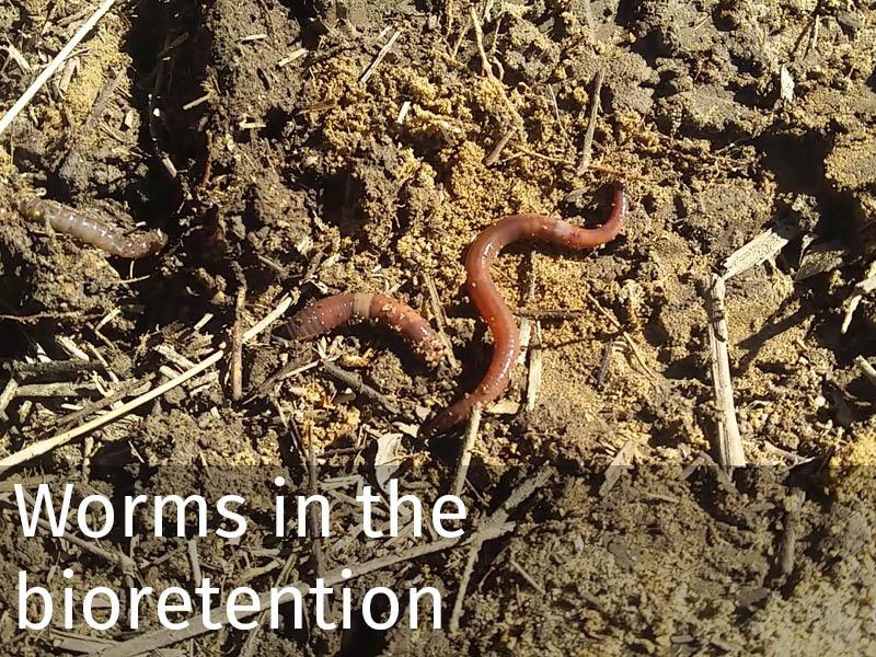 20150102 0188 Worms in the bioretention.jpg