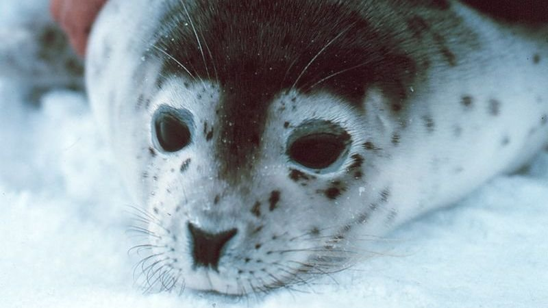 commercial-seal-slaughter