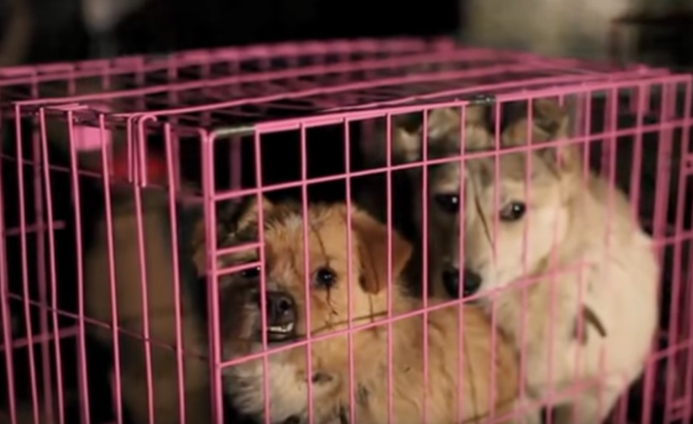 """The Yulin Dog Meat Festival is a """"food safety issue"""", says campaigner, Andrea Gung"""