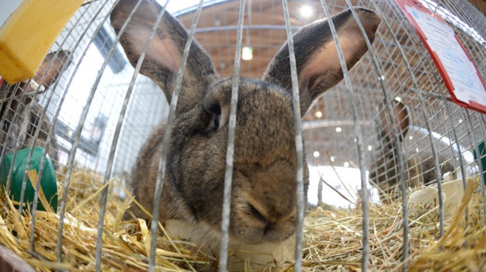 Animal_rights_group_condemn_plans_for_rabbit_breeding_farm___Central_-_ITV_News.png