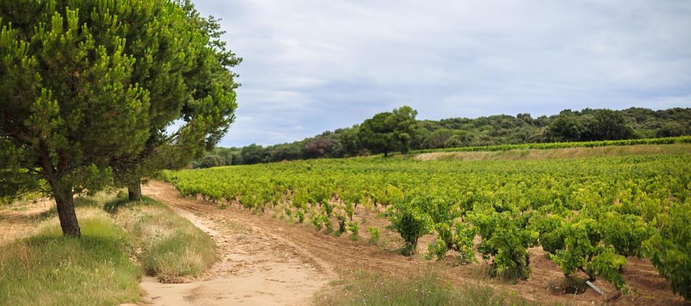 manissy vineyard.jpg
