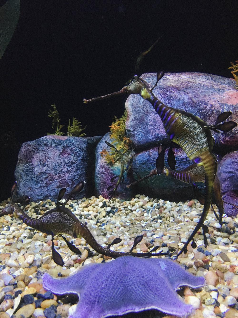 seahorses2