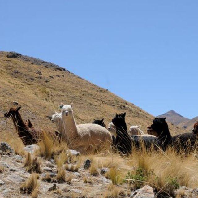 Alpacas from our farm in Puno, PERU. La Chance directly from the source .  #alpaca #alpacaluxury #throw #interiors  #interiordesign #fairtrade #homeblogger  #homedecor