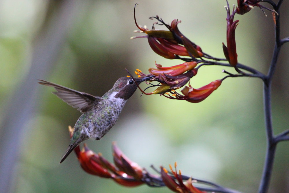 otter rock hummingbird.JPG